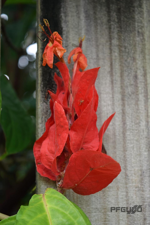 Red Leaf Flower
