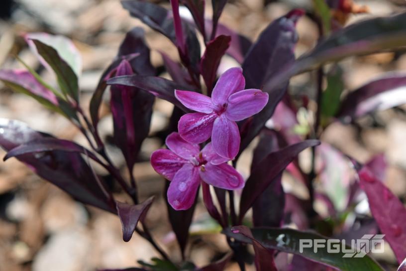 Two Light Purple Flowers