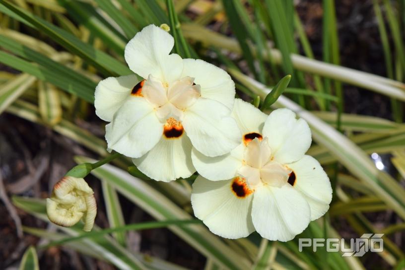 Two White Wild Iris Flowers