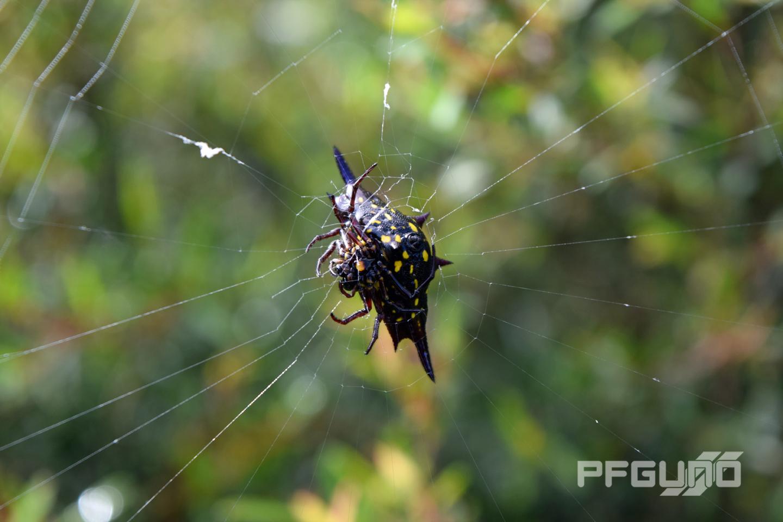 Wide Spider [SHOT 1]