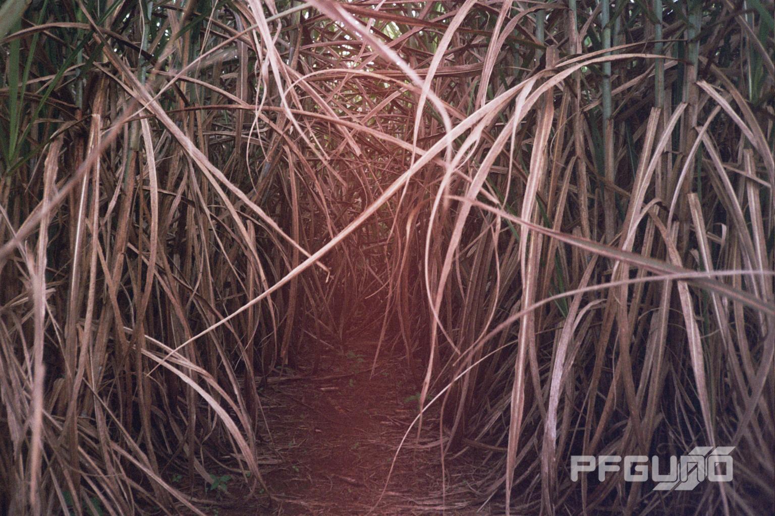 Between The Sugarcane