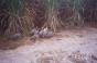 Eight Guineafowl [SHOT 1]