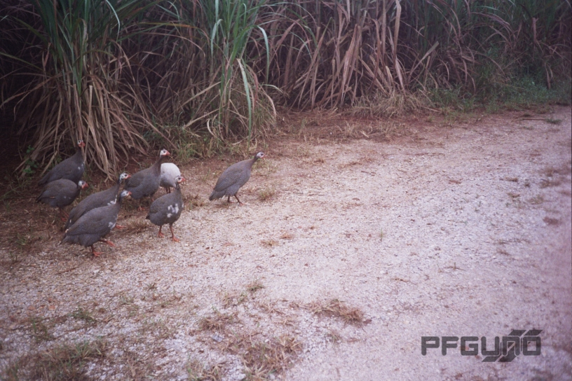 Eight Guineafowl [SHOT 2]