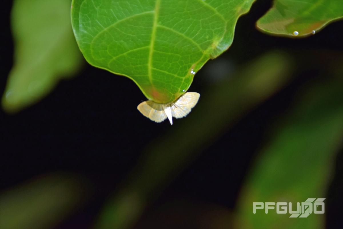 moth on the leaf pfgun0