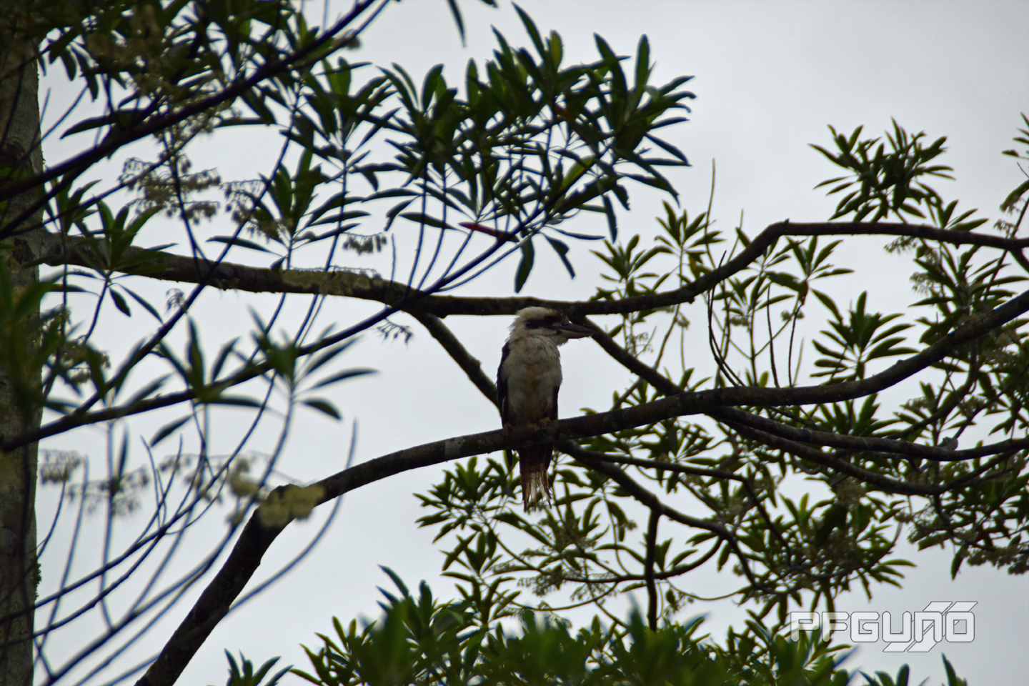Single Kookaburra