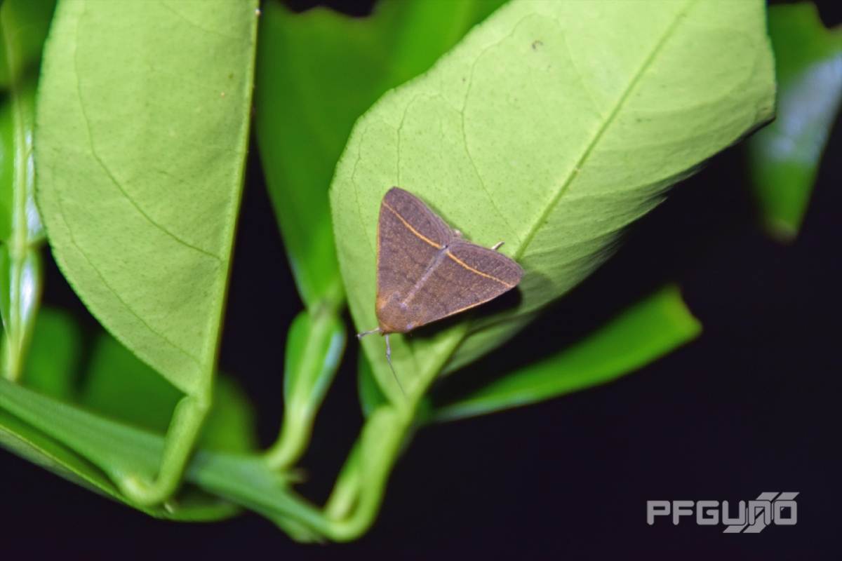brown moth hanging on a leaf pfgun0