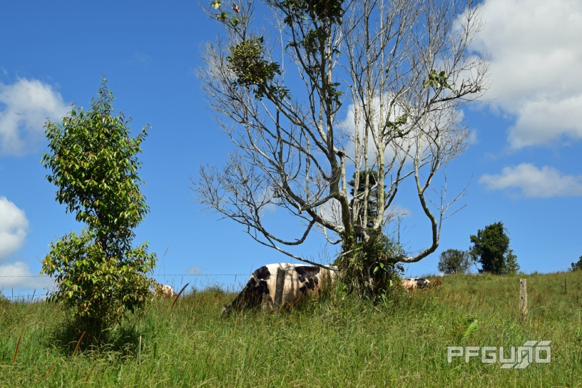 Cow And The Tree