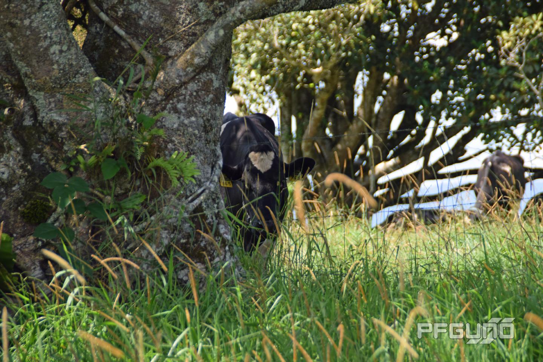 Cow Hiding