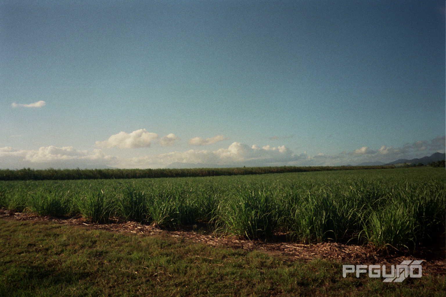 Fields Of Sugarcane