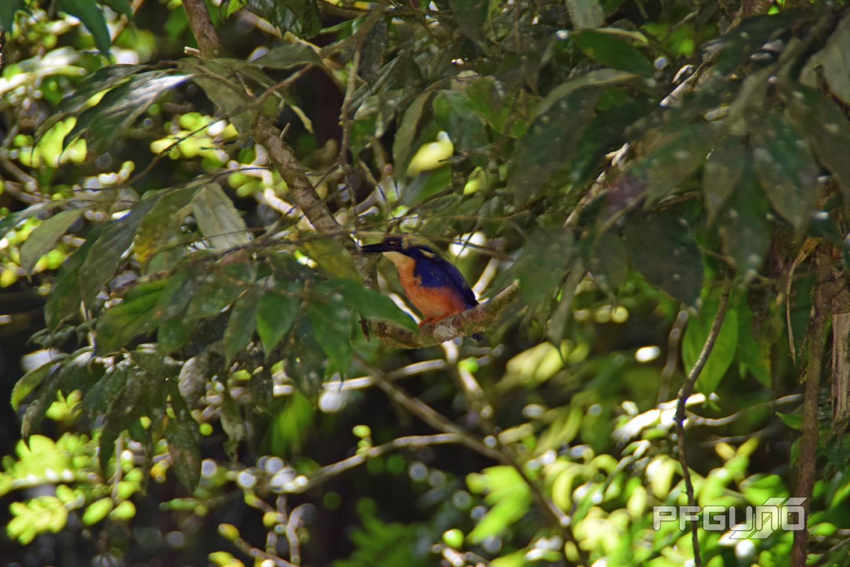 Blue And Orange Kingfisher