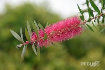 Pink Bottlebrush