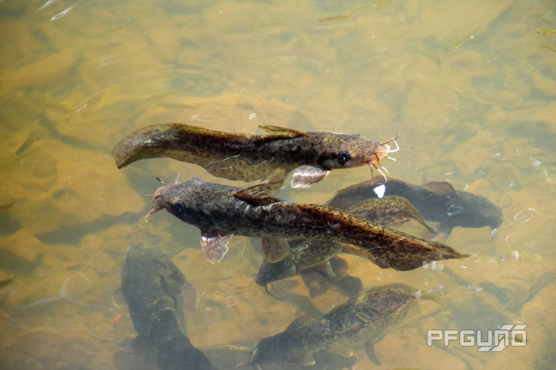Two Catfish