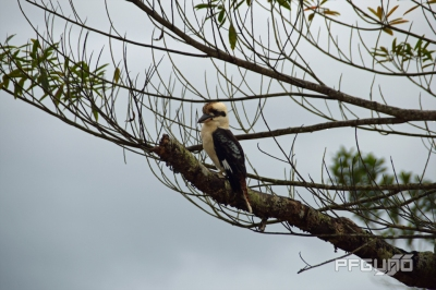 Lonely Kookaburra