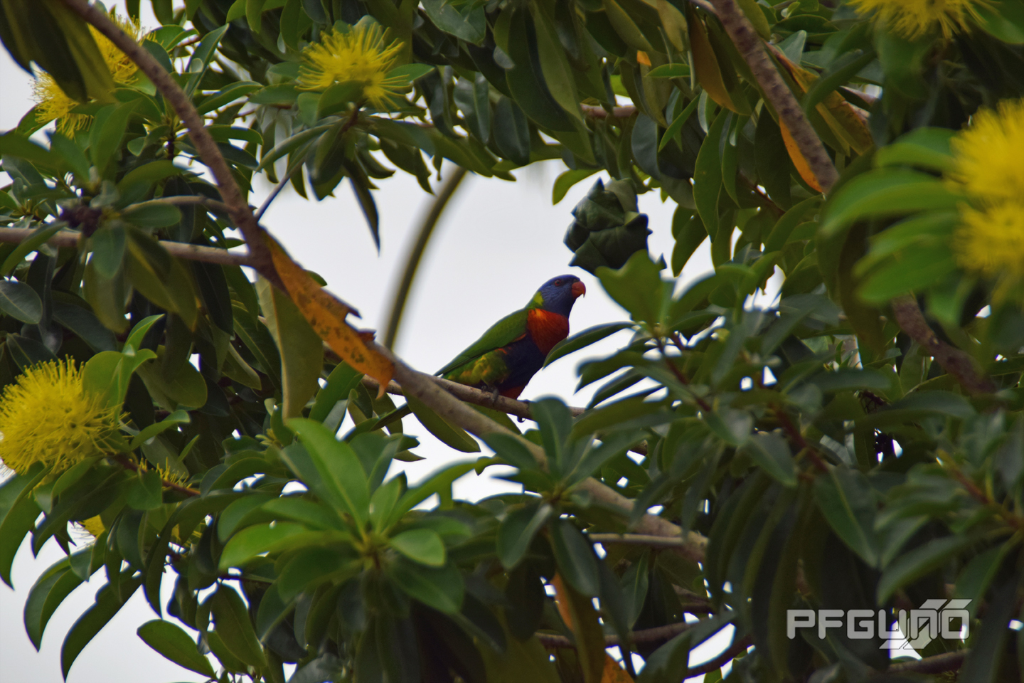 Lonely Rainbow Lorikeet