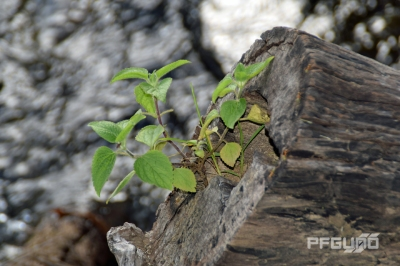 Growing Out Of a Log