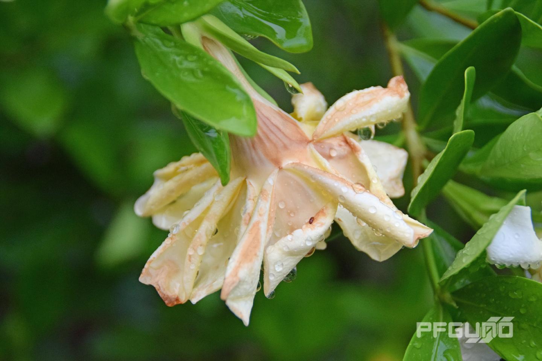 Flower Turning Brown