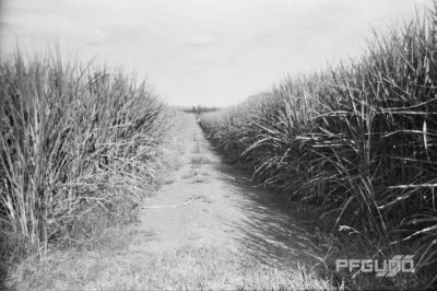 Headland And The Sugarcane