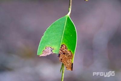 Half Leaf