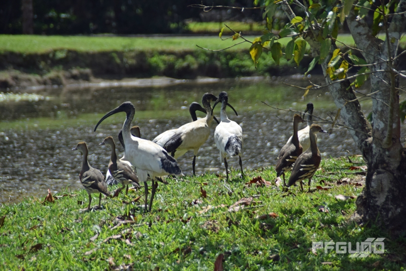 Ibises And Whistling Ducks